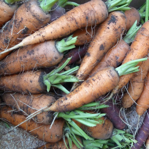 Image of Carrot