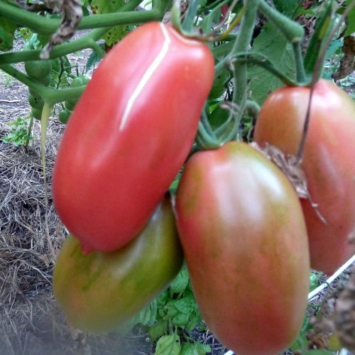 Image of Tomato (Paste or Sauce)